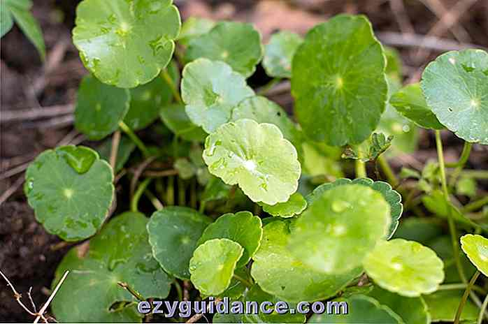 10 Incredible Health Benefits Of Gotu Kola